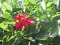 Passiflora vitifolia20020312.jpg