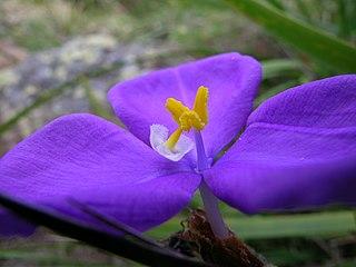 <i>Patersonia</i> genus of plants