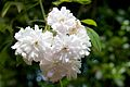 Paul's Himalayan Musk Rose, Hare Hill 2.jpg