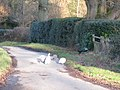 Peacock and Peahens - geograph.org.uk - 1134525.jpg