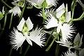 Pecteilis radiata fma. variegata '金星 - Kinboshi' (Thunb.) Raf., Fl. Tellur. 2 38 (1837) (50296149897).jpg