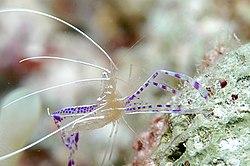 Pederson's Shrimp.jpg