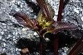 Pedicularis racemosa 0152.JPG