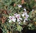 Pelargonium Blandfordianum.jpg