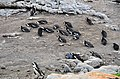 Penguin colony in Hermanus 17.jpg