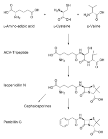 220px Penicillin biosynthesis