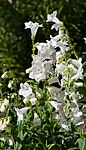 Penstemon digitalis -White Bedder--2737.jpg