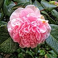 Peony pink cultivar in Postman's Park, City of London, England.jpg
