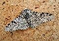Peppered Moth (Biston betularia) (48288420102).jpg