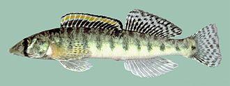 Roanoke logperch - Image: Percina rex