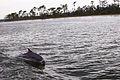 Perdido Bay Dolphin 01.jpg