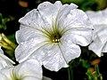 Petunia Axillaris (14716818251).jpg