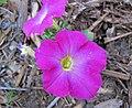 Petunia sp. (New Brighton, Minnesota, USA) 1 (27753442703).jpg