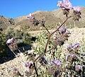 Phacelia vallis-mortae 6.jpg