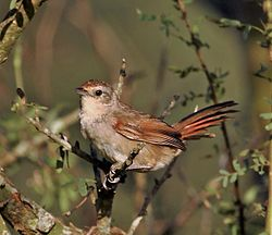 Phacellodomus sibilatrix - Little thornbird.JPG