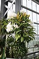 Phalaenopsis Class President Golden Eagle (3072505925).jpg