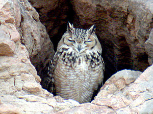 Pharaoh eagle owl l.jpg