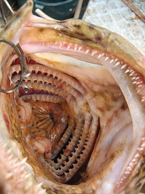Gill raker - Image: Pharynx and Gill raker of Epinephelus coioides