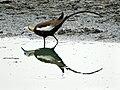 Pheasant tailed Jacana.jpg