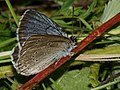 Phengaris teleius - Scarce large blue - Голубянка телей (27162677018).jpg