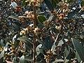 Phillyrea latifolia g1.jpg