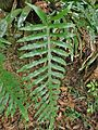 Phlebodium aureum (Polypodiales).jpg