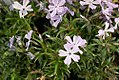Phlox subulata Oakington Blue Eyes 0zz.jpg