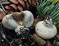 Pholiota nubigena (Harkn.) Redhead 477610.jpg