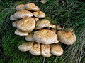 Pholiota squarrosa at Broadstone on an Ash tree.JPG