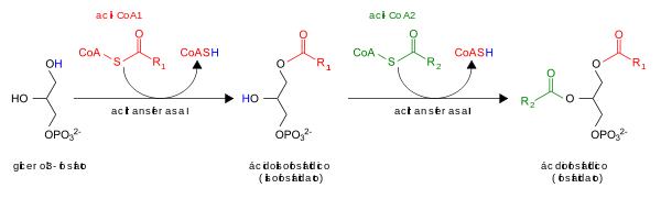 Phosfatidic acid synthesis es.svg