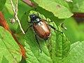 Phyllopertha horticola (Bracken chafer), Nijmegen, the Netherlands - 2.jpg