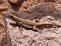 Phymaturus spurcus.jpg