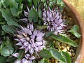 Physoplexis comosa -英格蘭 Wisley Gardens, England- (9198100637).jpg