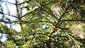 Picea rubens (23065802106).jpg