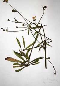 Picris hieracioides BW-1979-0821-9962.jpg