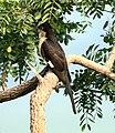 Pied Cuckoo Clamator jacobinus Juvenile by Dr. Raju Kasambe 03.jpg