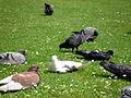 Pigeons 5 2012-07-08.jpg
