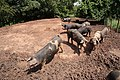 Pigs at Peterstow, Herefordshire - geograph.org.uk - 1354131.jpg