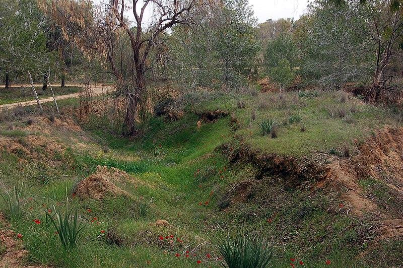 כלניות ביער בארי