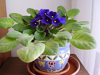 Gesneriaceae - Saintpaulia ionantha (African violet) - a common household plant and a member of the family