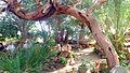 PikiWiki Israel 36726 Botanical - Eilat.JPG