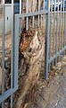 PikiWiki Israel 58357 old tree in rishon lezion.jpg
