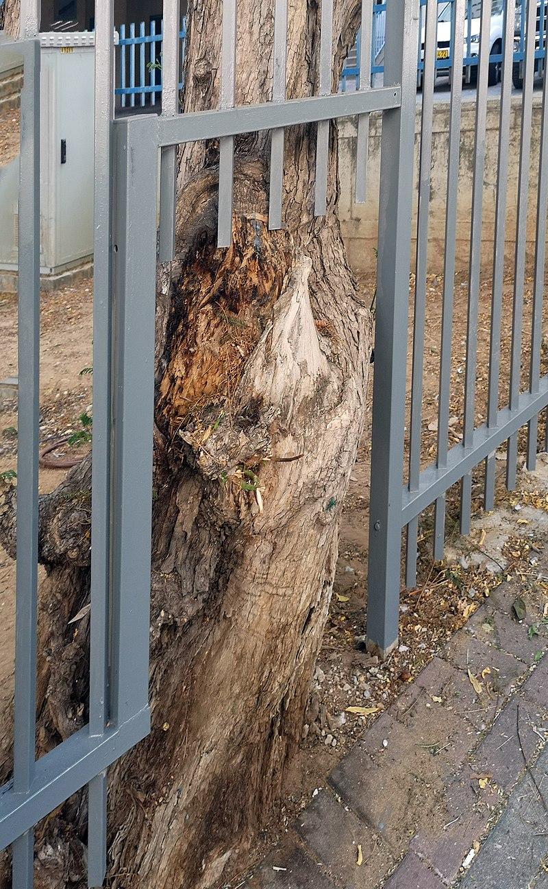 עץ ישן בראשון לציון
