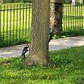 Piliated Woodpecker ladies feast on ants (20149476191).jpg