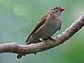 Pin-tailed Whydah RWD2.jpg