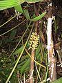 Pinanga cattienensis1.jpg