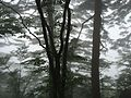 Pine tress in mist on top of Huangshan.jpg