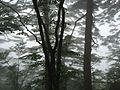 Pine tress in mist on top of Huangshan.jpg