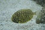 Pineconefish, Kelp Forest, Baltimore aquarium.jpg