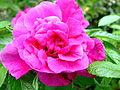 Pink Flower (2538515735).jpg